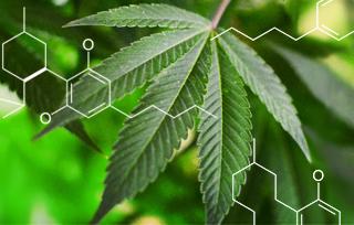 most popular cannabinoids