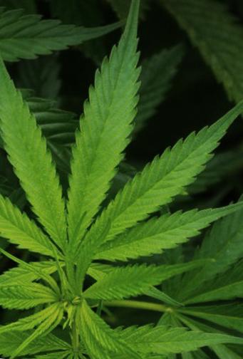 cannabis species list