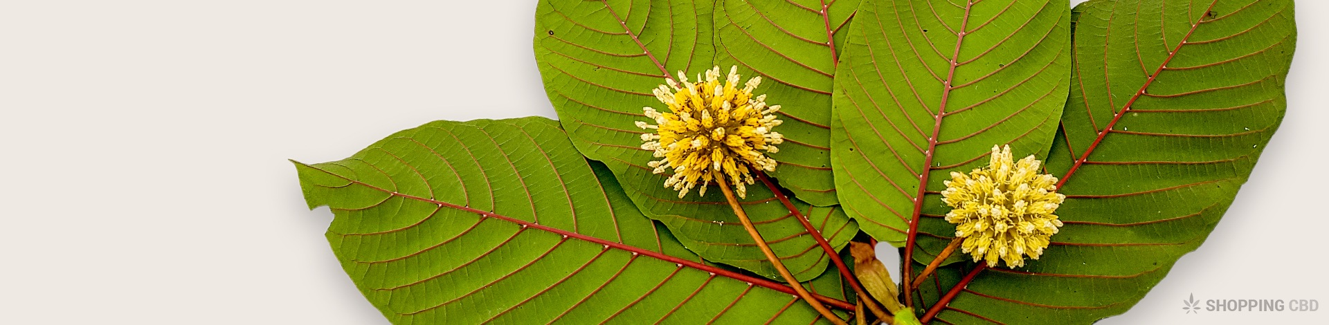 What is Kratom? [Does it Match Up to CBD?]